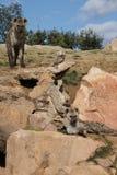 被察觉的鬣狗 免版税库存照片