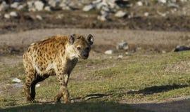 被察觉的鬣狗 免版税库存图片