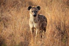 被察觉的鬣狗 图库摄影