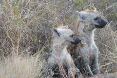被察觉的鬣狗崽 库存照片