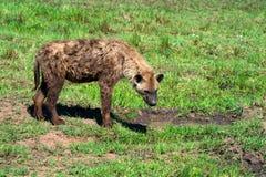 被察觉的鬣狗 库存照片