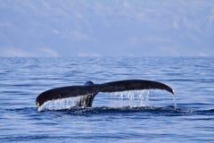 被察觉的鲸鱼尾巴,当在一块鲸鱼手表在毛伊的时Lahaina 图库摄影