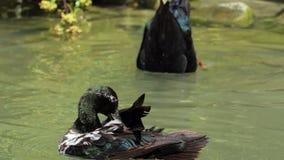 被察觉的鸭子在slo mo清洗羽毛和五颜六色的下潜滑稽 股票视频