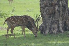被察觉的鹿吃草 库存图片
