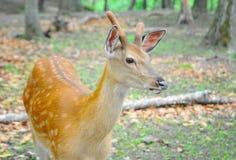 被察觉的鹿在森林里 库存图片