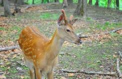 被察觉的鹿在森林里 免版税库存图片