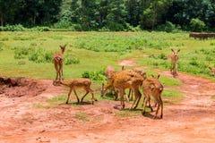 被察觉的鹿牧群在黏土中的一支笔和绿色吃草在 库存照片