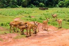 被察觉的鹿牧群在黏土中的一支笔和绿色吃草在 图库摄影