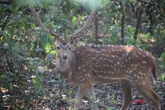 被察觉的鹿看照相机在森林里 免版税库存图片