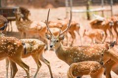 被察觉的鹿野生动物在国立公园-其他名字Chital,Cheetal,轴鹿 免版税库存照片
