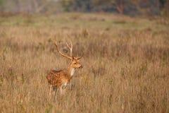 被察觉的鹿雄鹿在印度 免版税库存图片