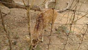 被察觉的鹿 免版税库存照片