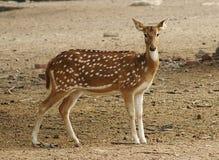 被察觉的鹿 免版税图库摄影