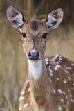 被察觉的鹿 库存图片