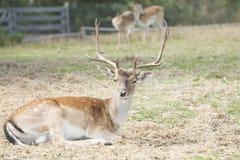 被察觉的鹿/Chital 免版税库存照片