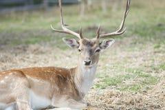 被察觉的鹿/Chital 图库摄影