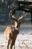被察觉的鹿- Chital 图库摄影