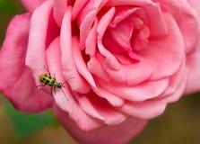 被察觉的黄瓜甲虫 免版税库存照片