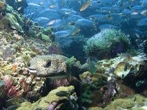 被察觉的黑色diodon hystrix刺顿鱼 免版税库存照片