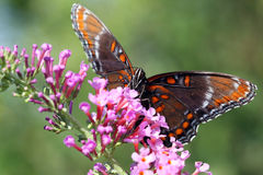 被察觉的蝴蝶紫色红色 库存图片