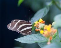 被察觉的蝴蝶绿色 图库摄影