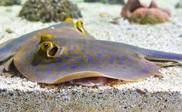被察觉的黄貂鱼鱼 免版税库存照片