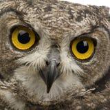 被察觉的8个africanus腹股沟淋巴肿块老鹰月猫头鹰 图库摄影