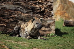 被察觉的amboseli鬣狗肯尼亚国家公园 库存照片