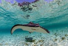 被察觉的eagleray和披巾在海洋 免版税库存照片