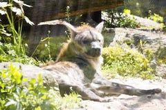 被察觉的Hyaena,斑鬣狗斑鬣狗是一个强的动物 图库摄影