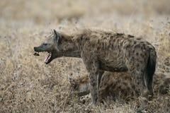 被察觉的hyaena,斑鬣狗斑鬣狗, 免版税库存图片