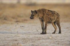 被察觉的hyaena,斑鬣狗斑鬣狗 免版税库存图片