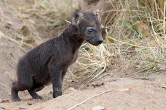被察觉的Hyaena崽(斑鬣狗斑鬣狗) 库存图片