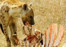 被察觉的hyaena 库存照片