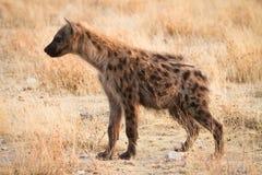 被察觉的hyaena 免版税库存图片