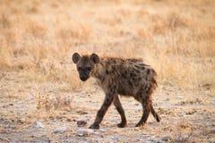 被察觉的hyaena 库存图片