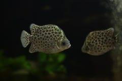 被察觉的scat鱼, Scatophagidae 免版税库存图片
