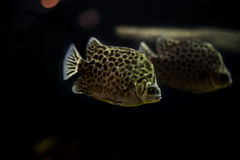 被察觉的scat鱼, Scatophagidae 库存图片