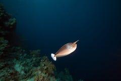 被察觉的unicornfish在红海。 免版税图库摄影