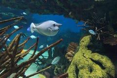 被察觉的Unicornfish 免版税库存图片