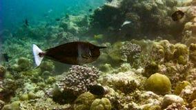 被察觉的unicornfish Naso brevirostris在马尔代夫的热带水域中 免版税库存照片