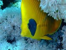 被屏蔽的butterflyfish 免版税库存照片