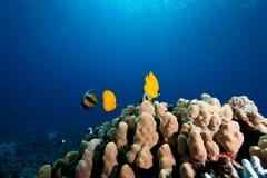被屏蔽的butterflyfish 库存照片
