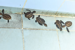 被开化的婴孩海龟 免版税库存照片