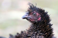 被弄乱的黑禽畜画象  免版税库存图片