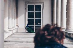 被弄脏的妇女看孔雀的在Lazienki或皇家浴在华沙停放在波兰 免版税库存照片