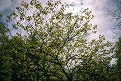 被弄脏的树在阳光5月下 免版税图库摄影