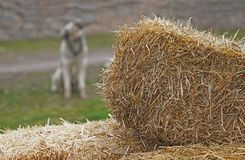 被弄脏的灰色流浪狗开会 库存照片