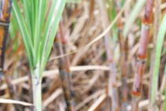 被弄脏的甘蔗种植园为背景,树藤茎领域甘蔗迷离背景,甘蔗农业种田 免版税库存照片
