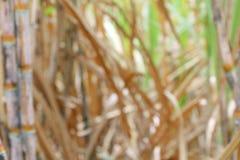 被弄脏的甘蔗种植园为背景,树藤茎领域甘蔗迷离背景,甘蔗农业种田 库存图片